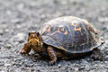 Eastern box turtle on the road in tennessee Royalty Free Stock Photography
