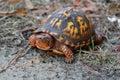 Eastern Box Turtle, Terrapene carolina Royalty Free Stock Photo