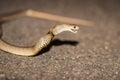 Eastern Brown Snake, Australia