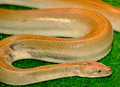 The eastern brown snake Royalty Free Stock Photo