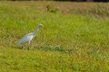 Eastern Cattle Egret bird Royalty Free Stock Photo