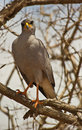 Eastern Chanting-Goshawk perching on tree Stock Image