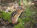 Eastern Chipmunk, Royalty Free Stock Images