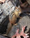Eastern Chipmunk on Log Royalty Free Stock Photo