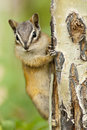 Eastern chipmunk squirrel tamias striatus clinging to a tree waterton lakes national park alberta canada north america Stock Images