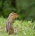 Eastern Chipmunk (Tamias striatus) Royalty Free Stock Photo