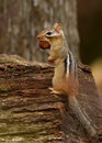 The Eastern Chipmunk (Tamias striatus) Stock Image