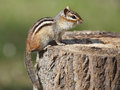 Eastern chipmunk on a tree stump at a campsite tamias striatus sitting pinery provincial park ontario canada Royalty Free Stock Photography