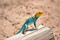 Eastern collared lizard perched on a fence post Royalty Free Stock Photography