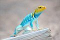 Eastern collared lizard perched on a fence post Stock Photo