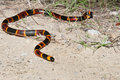 Eastern coral snake an found on the florida panhandle Royalty Free Stock Images
