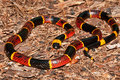 Eastern Coral Snake (Micrurus fulvius) Royalty Free Stock Photo