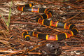 Eastern Coral Snake Royalty Free Stock Photo