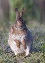 Eastern Cottontail Rabbit Royalty Free Stock Images