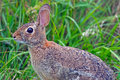 Eastern Cottontail Rabbit Royalty Free Stock Photography