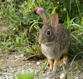 Eastern cottontail rabbit closeup of Royalty Free Stock Photos