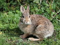 Eastern cottontail rabbit an feeding at the edge of the forest Royalty Free Stock Images