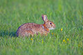 Eastern cottontail rabbit sylvilagus floridanus on the grass Stock Photos