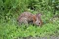 Eastern Cottontail Rabbit Sylvilagus floridanus Royalty Free Stock Photo