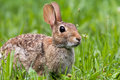 Eastern Cottontail Rabbit, Sylvilagus floridanus, in lush green morning grass Royalty Free Stock Photo