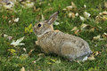 Eastern cottontail rabbit sylvilagus floridanus sitting on a grass Royalty Free Stock Photos