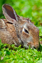 Eastern cottontail rabbit sylvilagus floridanus sleeping on the grass Royalty Free Stock Photo