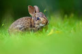 Eastern cottontail rabbit (Sylvilagus floridanus) Royalty Free Stock Photo