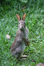 Eastern Cottontail Standing Up Sylvilagus floridanus Royalty Free Stock Photo