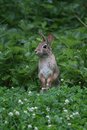 Eastern Cottontail Standing Up 4 - Sylvilagus floridanus Royalty Free Stock Photo