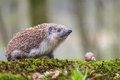 Eastern european hedgehog in nature Stock Images