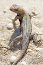 Eastern Fence Lizard Royalty Free Stock Photos