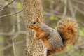 Eastern fox squirrel sciurus niger sitting on a tree branch Stock Photography