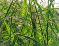 Eastern garden lizard, Oriental garden lizard, Changeable lizard Calotes mystaceus is hanging on grass that have dew for sunbath Royalty Free Stock Photo