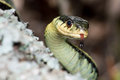 Eastern garter snake a close up shot of an flicking his tongue Royalty Free Stock Photo
