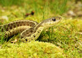 Eastern garter snake closeup profile of an Royalty Free Stock Photo