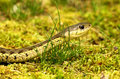 Eastern garter snake profile of an in grass Stock Photo