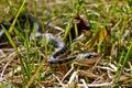 Eastern Garter Snake (Thamnophis sauritus) Stock Photos