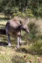 Eastern Gray Kangaroo Stock Image