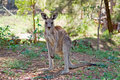 Eastern gray kangaroo Royalty Free Stock Photos