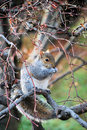 Eastern Gray Squirrel eating Royalty Free Stock Images