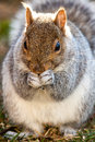Eastern gray squirrel eating seeds Royalty Free Stock Photography