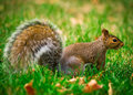 Eastern gray squirrel profile a close up side view of a common north american sciurus carolinensis Royalty Free Stock Photography