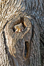 Eastern gray squirrel resting in hole in tree Royalty Free Stock Photo