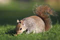 Eastern gray squirrel snooping around the grass Stock Image