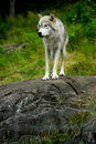 Eastern Gray Timber Wolf Standing on Rock Royalty Free Stock Photos