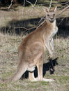 Eastern Grey Kangaroo Royalty Free Stock Image