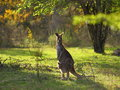 Eastern grey kangaroo with joey a living in the wild a in its pouch at daytime Royalty Free Stock Images