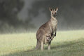 Eastern grey kangaroo with joey a wild standing in grassy field Royalty Free Stock Photos