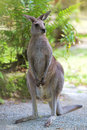 Eastern grey kangaroo in the wild in australia Royalty Free Stock Images