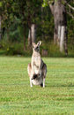 Eastern grey kangaroos Royalty Free Stock Photos